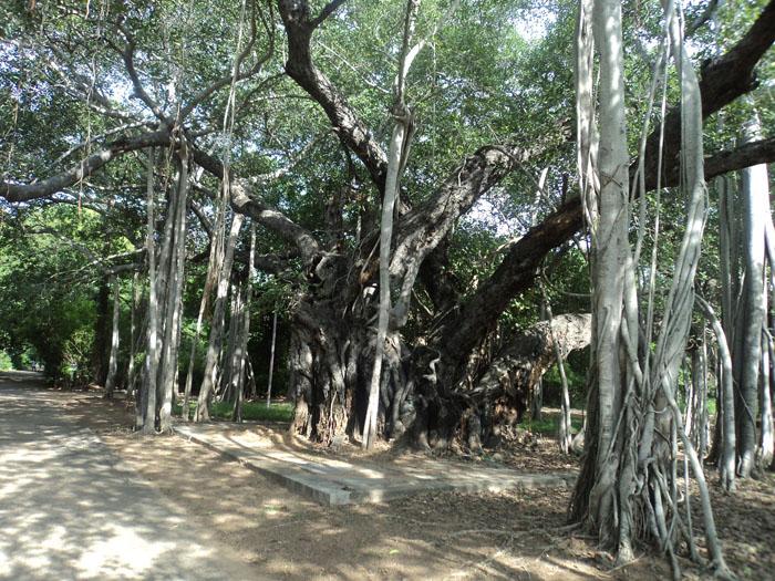 Banyan Tree, Chennai, Índia (2013)